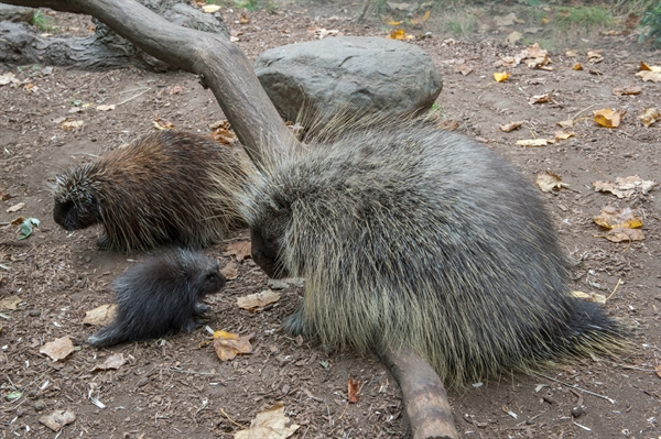 North American Porcupine Born At Wcs S Bronx Zoo Wcs Newsroom