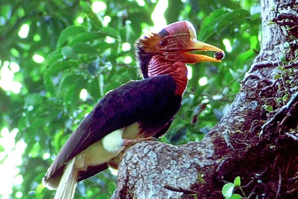 Helmeted Hornbills in Decline: The Elephant in the Room