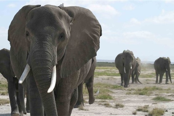 Time for the EU to Close Its Domestic Ivory Market?