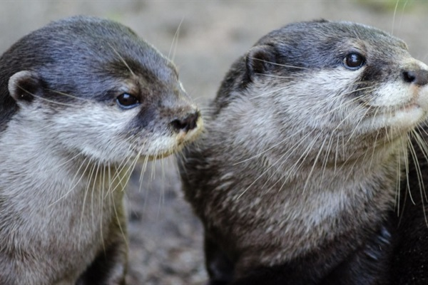 Asian Otters: Out of the Water and Into…a Café?