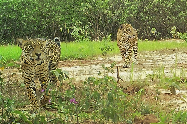 Protecting Jaguars without Borders