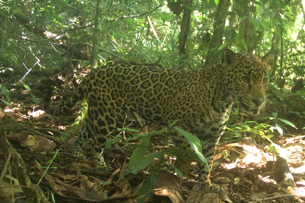 Uncertainty for Jaguars in Mesoamerica's Forests