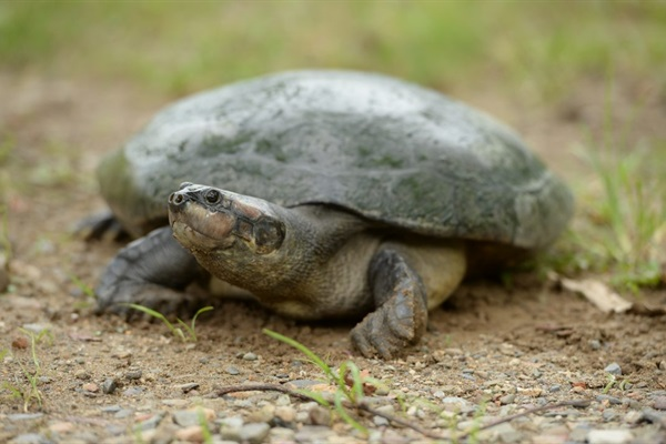 Protecting the Giant South American River Turtle
