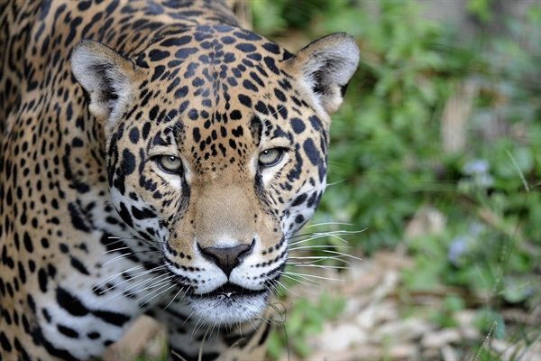 Wildlife Trafficking's New Front: Latin America