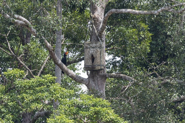 In Borneo, Building a Nest Box — and a Future for Conservation