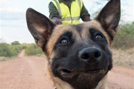 Keen-nosed Canines In Tanzania  Help Nab Poacher With Elephant Ivory