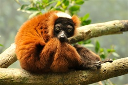 Vote for Critically Endangered Lemurs Of Madagascar in Online Contest