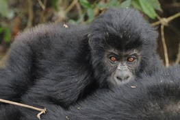 Imperiled Gorilla Gets Much-Needed Good News