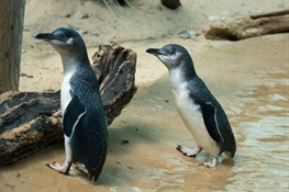 Australian Little Penguins Debut at WCS's Bronx Zoo