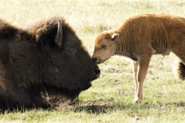 Senate Passes National Bison Day Resolution