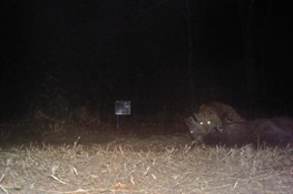 Night Stalker: Rare camera trap images show leopard making kill in India's Bhadra Tiger reserve