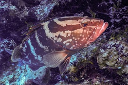 Nassau Grouper Becomes Critically Endangered