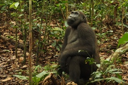 Massive Study Across Western Equatorial Africa Finds More Gorillas and Chimpanzees Than Expected, but 80% Are Outside the Safe Havens of Protected Areas
