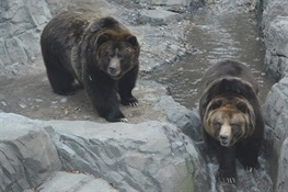 Wildlife Conservation Society Opens Grizzly Bear Exhibit At Central Park Zoo