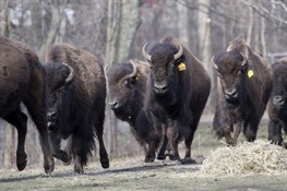 Fort Peck Native American Tribes Gift Bison to WCS's Bronx Zoo
