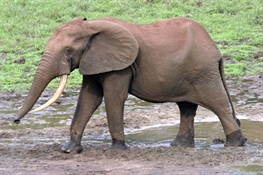 WCS's Praises Passage of Ivory Ban in Washington