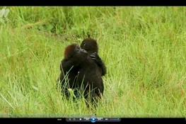 Video Captures Gorillas Hugging it Out