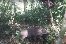 PIG RESCUE! WCS Video Shows Daring Rescue of Wild Boar Caught in Snare in Cambodia