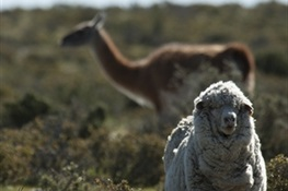 Wildlife Friendly Enterprise Network Welcomes WCS-Argentina and First Certified Wool Producers From Peninsula Valdés.