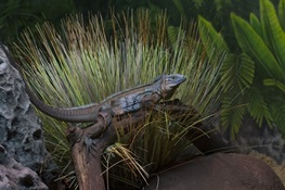 New Blue Iguana Exhibit at WCS's Bronx Zoo  Features Species Once On the Brink of Extinction