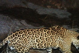 WCS Spearheads Conservation Science For U.S. Jaguar Recovery Plan