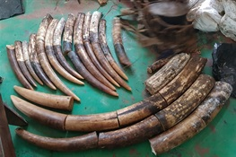 Successful Anti-poaching Operation Leads to 5-Year Conviction for Three Poachers in Republic of Congo