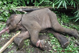 BREAKING NEWS:Snares Wiping Out Wildlife in Unprecedented Numbers
