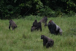 April 7--Declining Great Apes of Central Africa Get New Action Plan for Conservation for the Next Decade