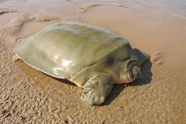 WORLD TURTLE DAY NEWS:  WCS Celebrating Cantor's Giant Softshell Turtle Conservation in Cambodia on World Turtle Day 2020