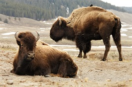 Senate Passes Resolution Commemorating Sat. Nov. 4 as National Bison Day