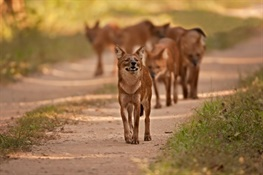 Protected Areas Hold Hope for the Endangered Dhole