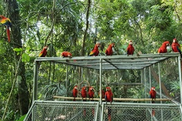 WCS and CONAP Release 26 Young Scarlet Macaws into Guatemala's Maya Biosphere Reserve (English and Spanish)