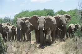 Elephants and Ivory in the News at CITES CoP18
