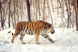 July 23 - Closing Roads to Save Tigers