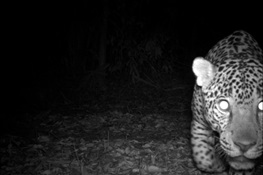 Jaguars & Well-managed Logging Concessions Can Coexist, Say Conservationists