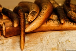 MAJOR IVORY TRAFFICKER JAILED IN REPUBLIC OF CONGO