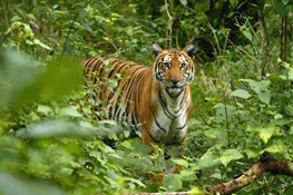Statement of Concern by Tiger Biologists