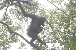 Orangutans Poised To Receive Major Boost