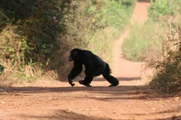 Sweeping Census Provides New Population Estimate For Western Chimpanzees