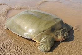 First Asian Giant Softshell Turtle Nest of the Season Located in the Mekong River