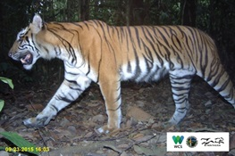 Critically Endangered Sumatran Tigers On Path To Recovery in an 'In Danger' UNESCO World Heritage Site