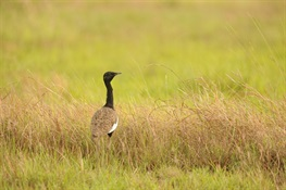 Cambodia's Bengal Floricans Threatened by Planned Power Line Development