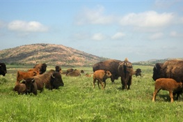New Large-Scale North American Study on Wild Bison Identifies Genetic Diversity Concerns and Solutions for Ensuring their Long-Term Conservation