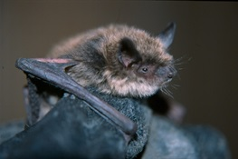 Efforts to Help Bats Survive Deadly Disease Get a Boost