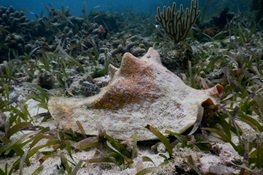 Study Finds Overharvest of Juvenile Queen Conch in Belize May be Reducing Size of Adults and Population