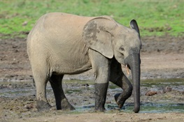 WCS Statement on IUCN Recognition of Two Species of African Elephants