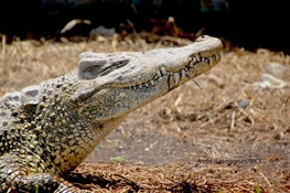 Endangered Cuban Crocodiles Come Home