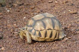CITES CoP17: Conservationists Urge Immediate Action to End Poaching of Ploughshare Tortoise