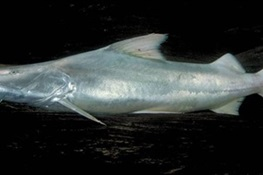 Scientists Confirm Dorado Catfish As All-Time Distance Champion of Freshwater Migrations