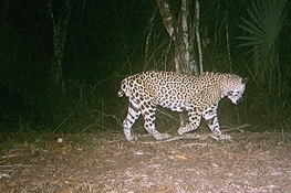 "A Jaguar, Nicknamed ""Short-Tail,"" Becomes Living Symbol of Transboundary Conservation"
